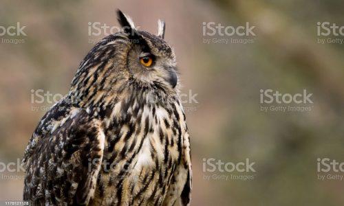 Portrait of a beautiful Euroasian Eagle Owl