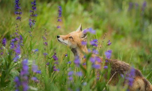 fox_meadow_lilac_flower