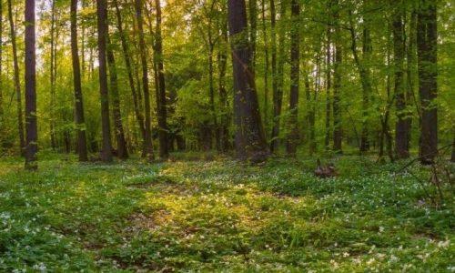 spring_forest_wild_anemone